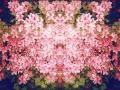 FlowersofPink